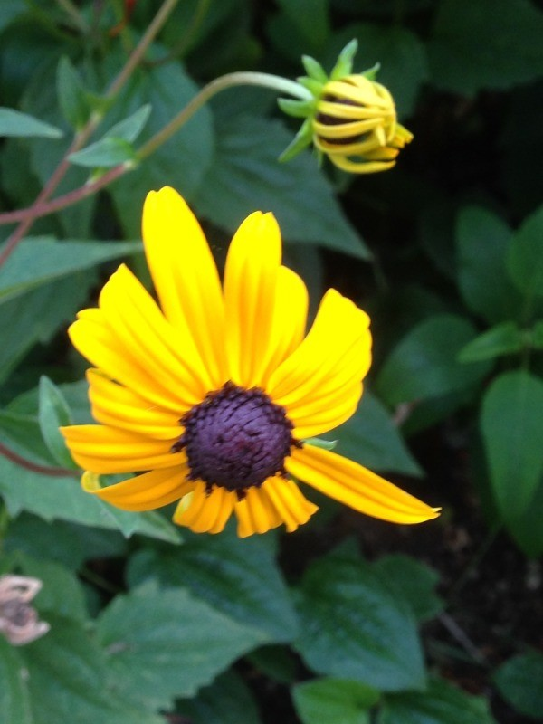 Co-joined Rudbeckia Flower - Fasciation