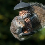 Squirrel wrapped around feeder containing peanuts