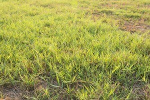 Patchy Bermuda grass