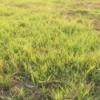 Patchy Bermuda grass