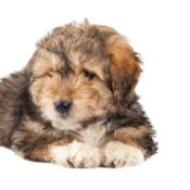 Bearded Collie/Terrier Mix puppy