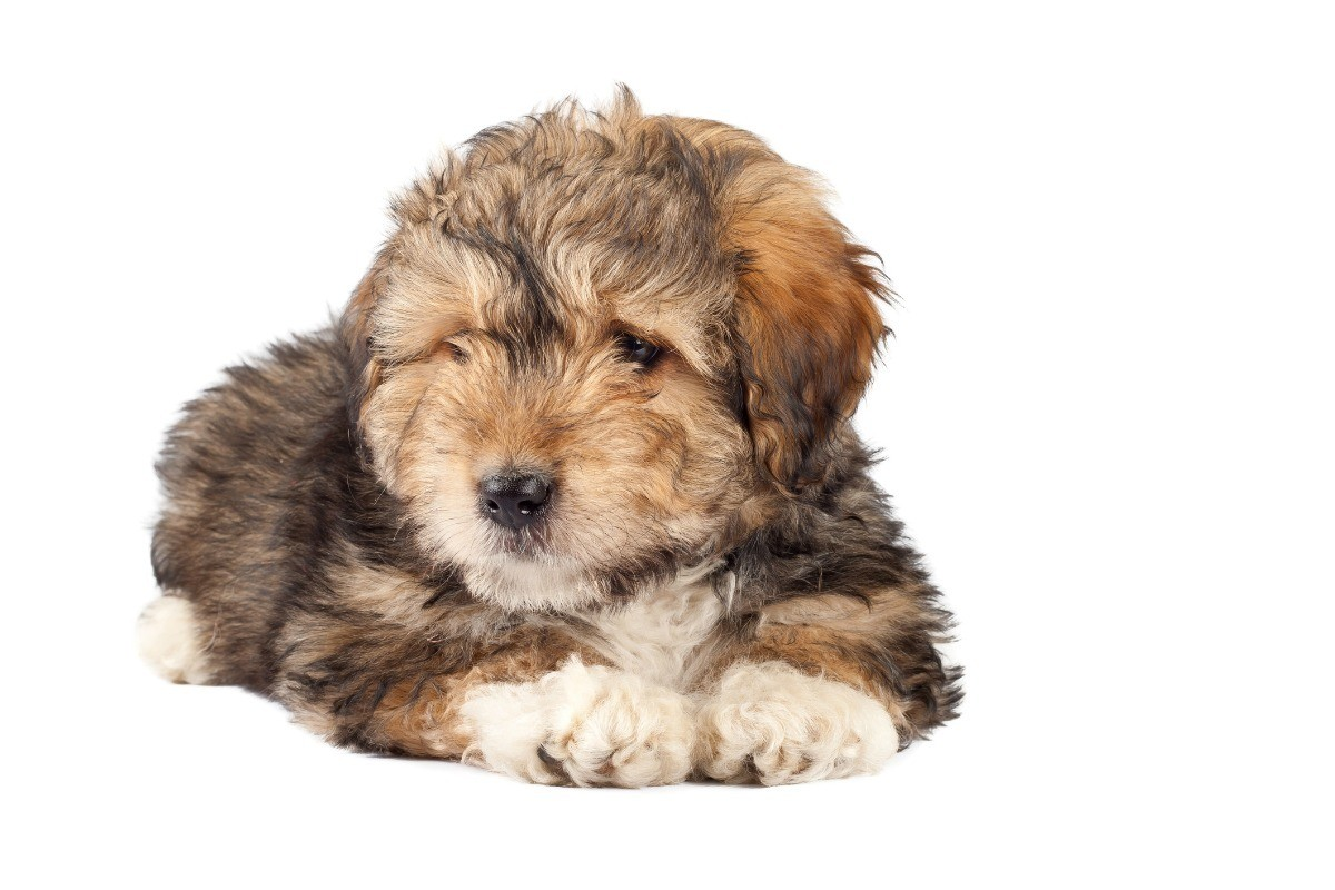 Bearded Collie Terrier Mix Photos