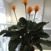 plant with very dark green leaves and orange flowers atop long stems