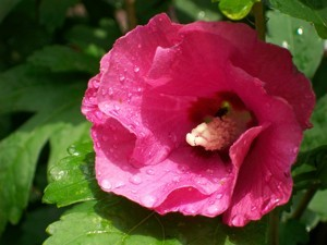dark pink rose of Sharon flower