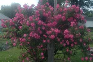 Garden: William Baffin Climbing Rose