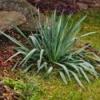 Monkey Grass (Liriope) plant