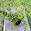 Mexican Heather (Cuphea) in nursery pot