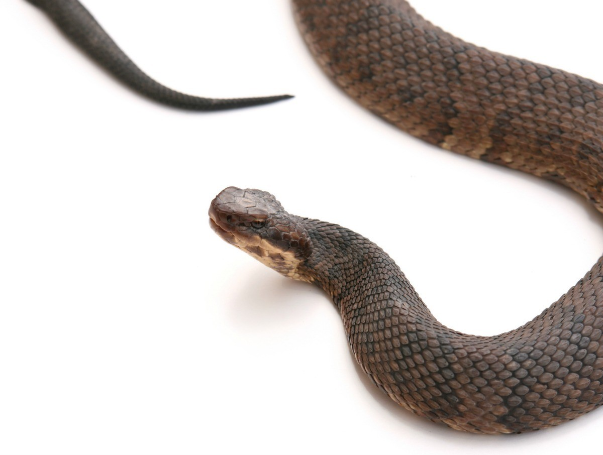 Cottonmouth Snakes (Water Moccasin) in a Bathtub?   ThriftyFun