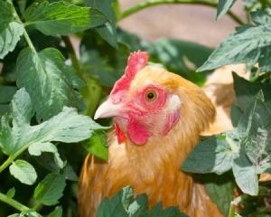 Chicken in tomato plants
