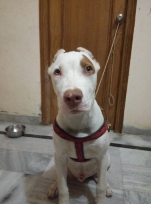 white dog with brown markings