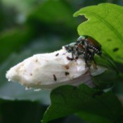 Bugs and beetles on Rose of Sharon bloom