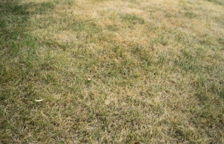 Close up of lawn that is mostly dead with few green patches