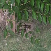 blotchy snake under a bush