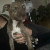 brindle grayish and white puppy