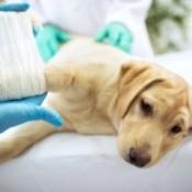 Sad dog laying on vet bed having cast put on broken leg