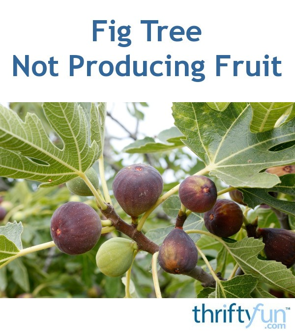 Fig Tree Not Producing Fruit Thriftyfun