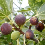 Fig tree with Fruit