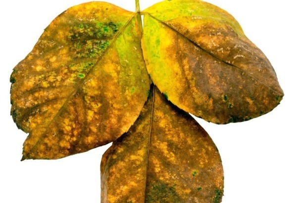 Plants leaves turning yellow thriftyfun the leaves on flowering plants vegetables or other plants can begin to turn yellow determining the cause is the first step in returning your plants to mightylinksfo