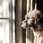 Sad dog staring out window