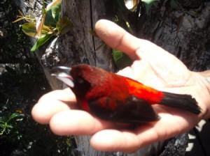 Teheura (Tahitian Red Bird)