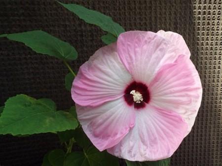 Hibiscus Swirl Blossom