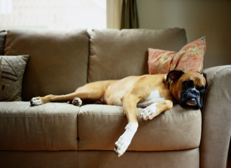 Boxer lounging on suede couch