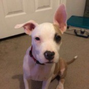 Pit looking dog with one ear standing up