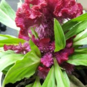 crenelated red flower on potted plant