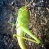 grasshopper on garden netting