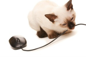 Siamese kitten chewing on mouse cord