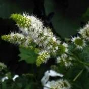 mint flowers