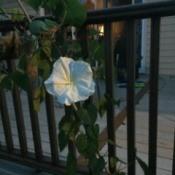 moonflower on deck railing