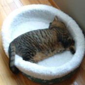 A tabby cat in a white cat bed.