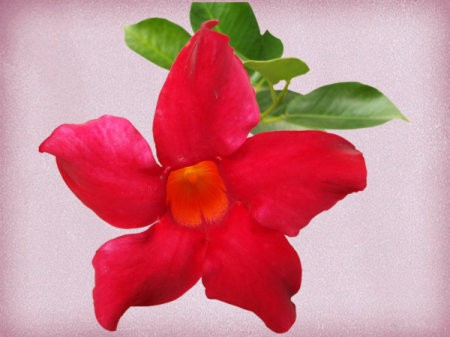 red mandevilla bloom