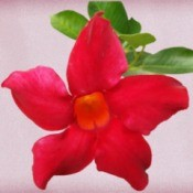 red mandevilla bloom