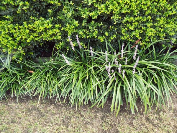 Controlling And Dividing Liriope Monkey Grass Thriftyfun