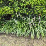 Controling And Dividing Liriope (Monkey Grass) - liriope in front of holly