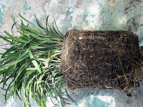 Controling And Dividing Liriope (Monkey Grass) - root bound liriope