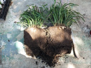 Controling And Dividing Liriope (Monkey Grass) - cut in half