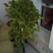 variegated leaf hanging trailing plant