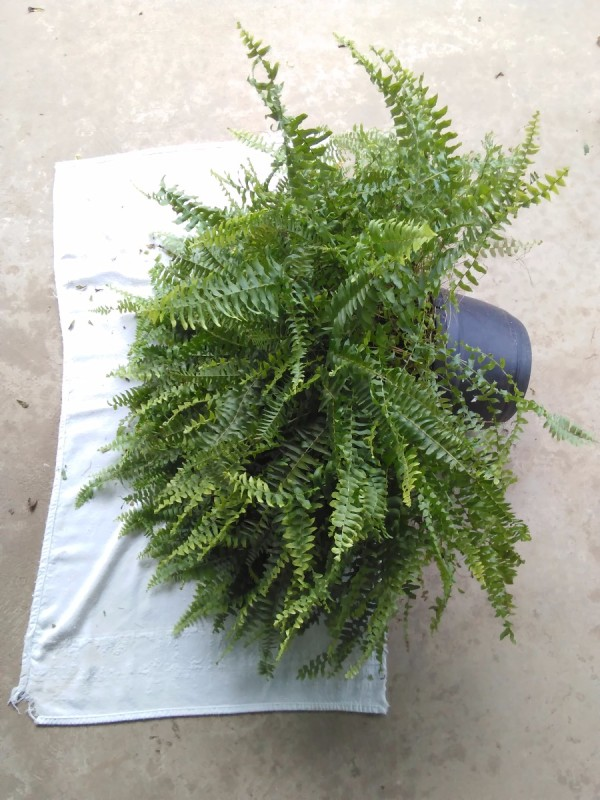 Re-Potting Ferns and Trailing House Plants