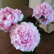 Three pink peony blossoms in a vase.