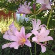 light pink lilies
