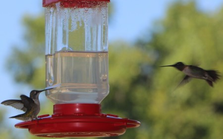 one bird on feeder other to right of it in flight