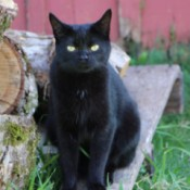 Toothless a black cat