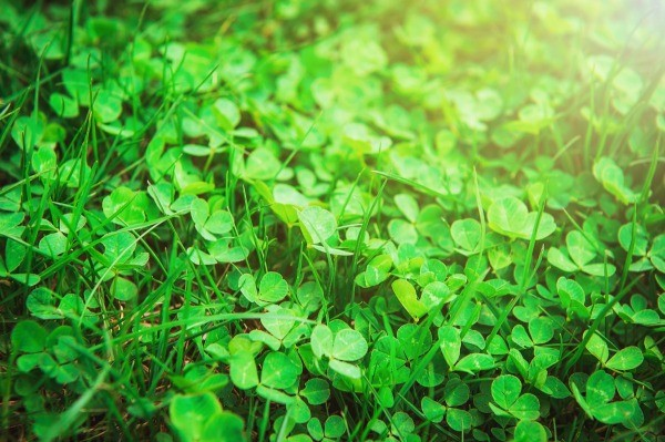 Removing Clover From Your Lawn Thriftyfun