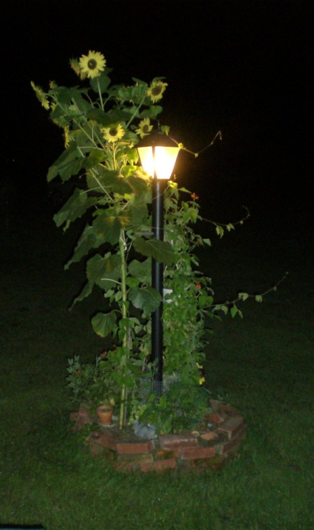Sunflower at night next to lamppost