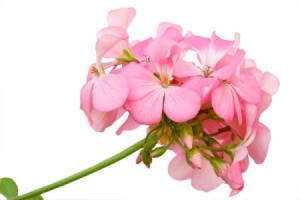 Close up of pink geranium flower