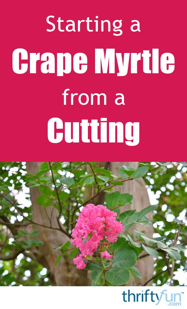 Establishing A Seasonal Capsule Part 1: Starting A Crape Myrtle From A Cutting
