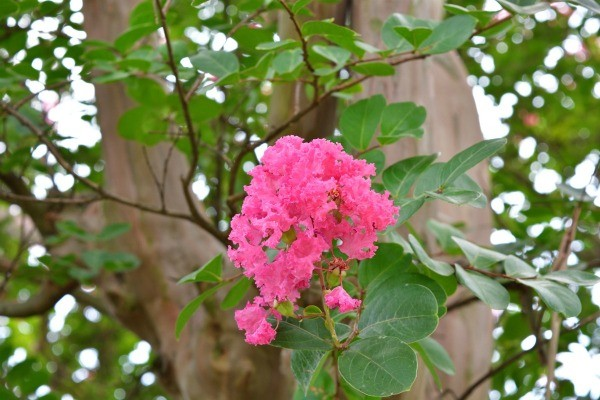 Starting A Crape Myrtle From A Cutting Thriftyfun